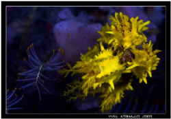 Small sea cucumber fiding   Canon 350D/Sigma 70mm by Yves Antoniazzo