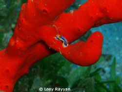 True Red by Loay Rayyan