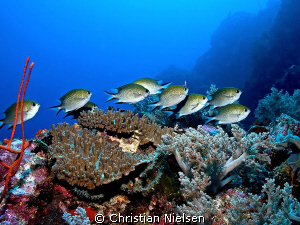 Small school of Ternate Puller on Crystal Rock, Komodo.