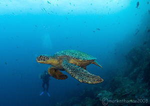 Green turtle off Wolf, Galapagos. April 2008. S5 Pro 10... by Mark Thomas