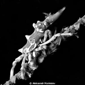 Black coral shrimp by Aleksandr Marinicev