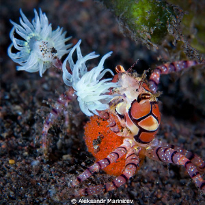 Boxer crab with eggs. The Boxer or pompom crab is a fasc... by Aleksandr Marinicev