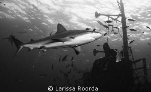 Black and white of Caribbean Reef Shark by Larissa Roorda