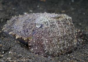 Cuttlefish. Lembeh straits. D200, 60mm. by Derek Haslam