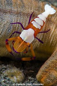 emperor shrimp over cucumber by Cipriano (ripli) Gonzalez