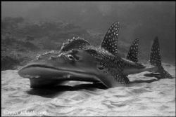 Bow mouth Wedgefish. Doodles Reef: Ponta D'Ora, Mozambiq... by Rene Schutte