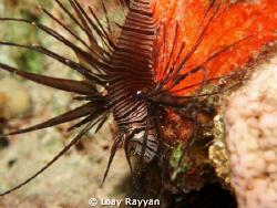 Juvenile Lionfish by Loay Rayyan