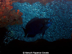 Midnight parrotfish and silversides in a cave by Baruch Figueroa-Zavala