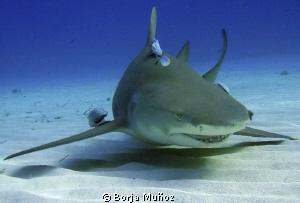 Lemon shark with few friends face by Borja Muñoz