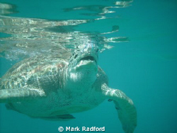 Green Turtles off Coast of Barbados by Mark Radford