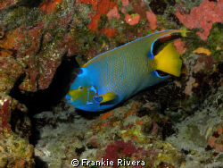 Queen Angel Fish @ Monito Island by Frankie Rivera