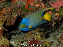 Queen Angel Fish @ Monito Island by Frankie Rivera