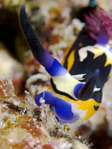 """""""Eating Nembrotha""""  from the El Quadim Bay, El Quseir. ... by Henry Jager"""