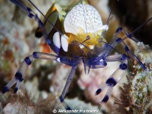 Clown shrimp by Aleksandr Marinicev