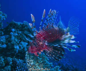 Lion fish siwming by by Borja Muñoz