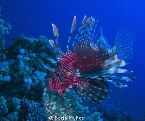 Lion fish siwming by by Borja Muñoz