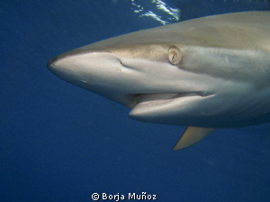 Silky shark coming from above by Borja Muñoz