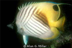 Butterflyfish in the coral sea, Nikonos V 35 mm with clos... by Alan G. Miller