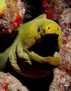 This image of a Green Moray was taken duri ng a dive a Pa... by Steven Anderson