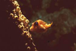 hide and seek. Bonaire. MM IIEX. This juvenile box fish a... by John M Akar