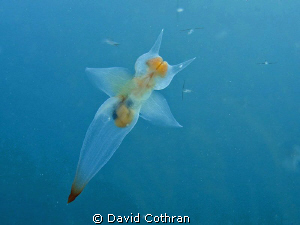 Clione limacina, a pteropod or sea butterfly, photographe... by David Cothran