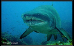 Raggie/ Ragged Tooth Shark aka Sand Tiger Female 3m 1/4... by Rene Schutte