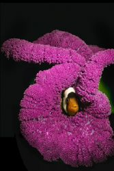 Solomon Island anemone fish by Erin Quigley