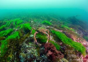 Spider Crab in Streamstown Bay, Connemara. D3 16mm. by Mark Thomas
