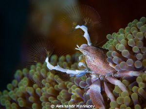 Dance with fans. Anemone crab by Aleksandr Marinicev