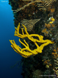 Yellow sponge (Axinella polypoides) on the wall. Calanque... by Bea & Stef Primatesta