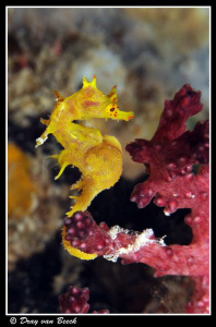 Soft coral pygmy seahorse. Very rare.. Very lucky...:) by Dray Van Beeck