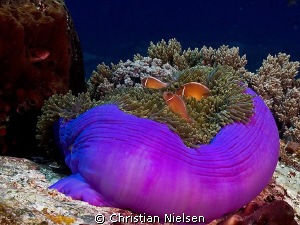 Anemonefish on Castle Rock, Komodo.