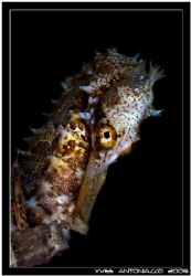 Portrait of sea horse taken in the Perhentian island Mala... by Yves Antoniazzo