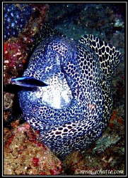 Honeycomb Eel with his trusty cleaner wrasse by Rene Schutte