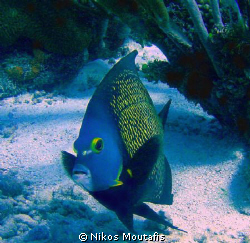 pomacanthus PARU (angelfish) , no strobes only natural li... by Nikos Moutafis