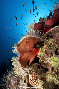Manificent anemone at Anemone city Ras Mohammed. by Stephan Kerkhofs
