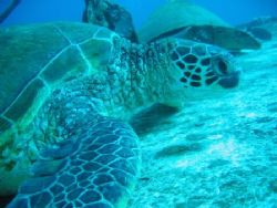 Hawaiian Green Turtle at rest on wheelhouse of St Anthony... by Ian Mcgraw