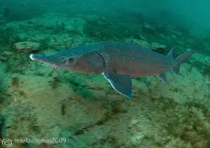 Sterlet Sturgeon. Jackdaw Quarry this morning. D3 15mm ... by Mark Thomas