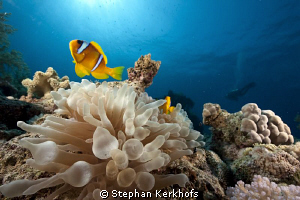Bubble anemone at Jackfish Alley. by Stephan Kerkhofs