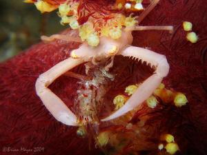 Tiny soft coral crab eating a shrimp. by Brian Mayes