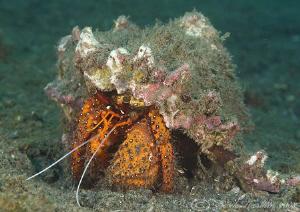 Hermit crab. Lembeh straits. D200, 60mm. by Derek Haslam