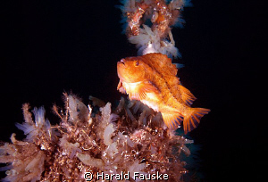 Rognkall(cyclopterus lumpus) guarding his eggs from preta... by Harald Fauske