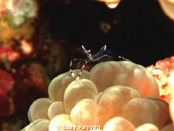 Transparent Lobster on Anemone, picture taken at sunset by Loay Rayyan