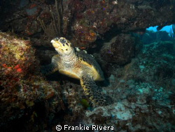 Hawksbill Sea Turtle @ Mona Island. by Frankie Rivera