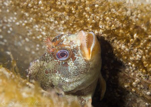 Tompot blenny. Trefor pier. D3,60mm. by Derek Haslam