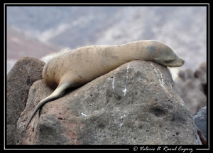 A little nap for a young sea lion ! by Raoul Caprez