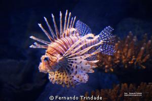 Antennae Dragon fish by Fernando Trindade