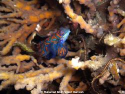 Mandarin Fish Mating time by Muhamad Eddin Syazri Hamzah