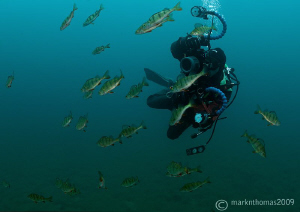 Mr H in action - amongst a shoal of perch.
