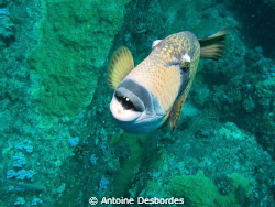 Titan triggerfish , Balistoides viridescens by Antoine Desbordes